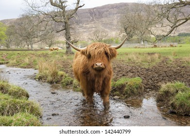 Highland Cow in stream in Scotland looking at viewer.