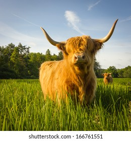 Highland cow in summer meadow