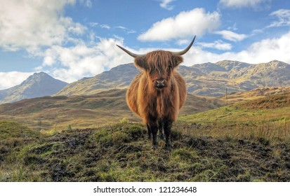 Highland Cow in the Trossachs with the Arrochar mountains in the distance.
