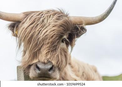 Cow Face Images, Stock Photos & Vectors | Shutterstock