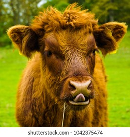 Highland cows living the life in the highlands of the UK