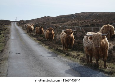 Highland Cows on the roadside on the isle of Coll