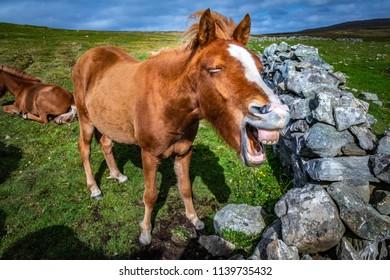Highland horse at Scotland, Shetland Islands, United Kingdom