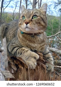 Highland Lynx Cat Lying on a Tree Stump