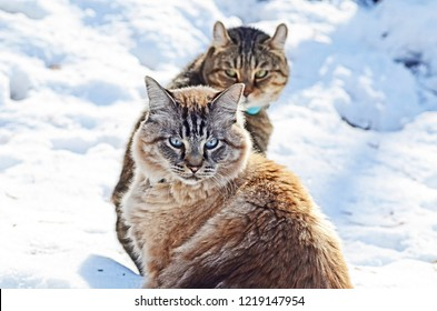A Highland Lynx and Siamese Balinese cat sitting in the snow