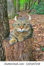 Highland Lynx Tabby cat on a log hunting in the woods