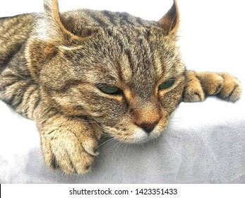 Highland Lynx tabby cat trying to take a nap.