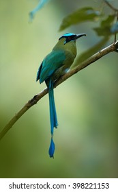 Highland Motmot, Momotus aequatorialis, largest motmot, bird with green body and turquoise crown with long, racquet-tipped tail, perched on twig in montane forest in Colombia. Vertical photo.