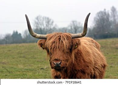 Highland on the pasture