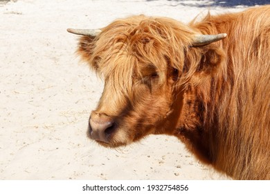 A Highland Scottish cow breed