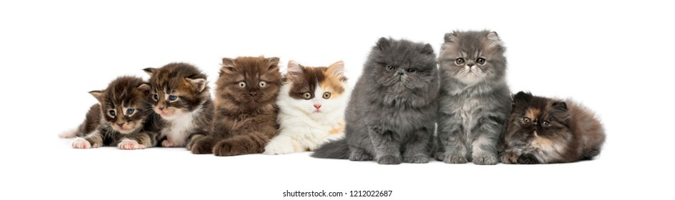 Highland straight and fold kittens, Maine coon kittens, Persian kittens, in front of white background