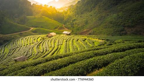 Highland Tea Plantation, Tea Plantation with Morning Light