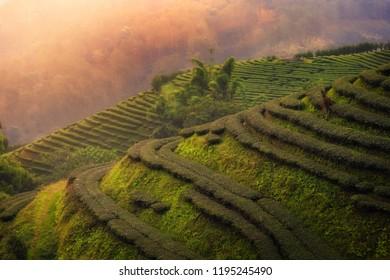 Highland Tea Plantation, Tea Plantation view with Morning
