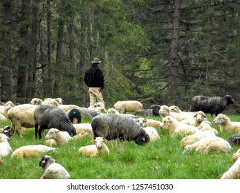 A highlander guarding sheep in a pasture in the Tatra mountains