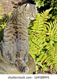 A Highlander Lynx cat  and ferns in a garden