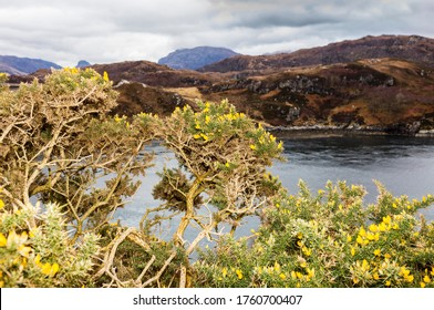 Highlands, Scotland. Flowering Ulex europaeus (common names: gorse, common gorse, furze, whin. Family: Fabaceae) near Kylesku.