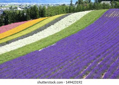 Highlight beautiful of lavender rainbow field in Furano , Hokkaido