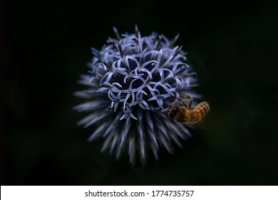 Highlight Honey Bee on a blue Globe Thistle. Illuminated foreground giving high contrast with a dark background with centrally placed flower. Focus on the open petals with bokeh on the closed buds.