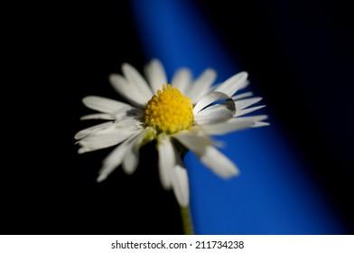 Highlighted drop on daisy petals
