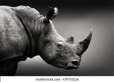 Highly alerted rhinoceros, black and white, monochrome portrait. Fine art, South Africa. Ceratotherium simum