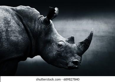 Highly alerted rhinoceros, black and white, monochrome portrait. South Africa. Ceratotherium simum