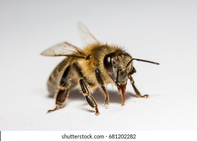 Highly detailed macro of a bee