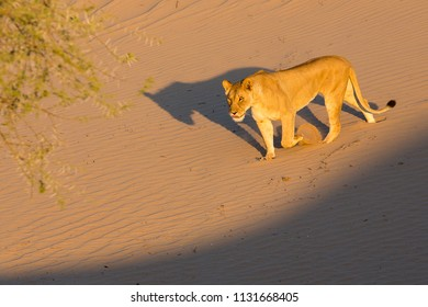 Highly endangered desert lion running down a sand dune in Namibia´s Skeleton Coast