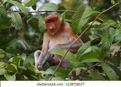 A highly endangered Proboscis Monkey (Nasalis Larvatus) sitting in the wild jungle of Borneo, Kinabatangan National Park,Malaysia