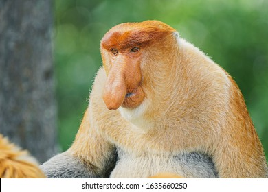 Highly Endangered Proboscis Monkey (Nasalis larvatus) sitting during the feed time in the jungles of Borneo. This is a big fat mature male with a huge nose and comical expression.
