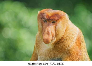 Highly Endangered Proboscis Monkey (Nasalis larvatus) in the jungles of Borneo. This is a big fat mature male with a huge nose and comical expression.
