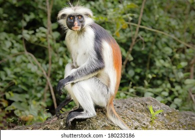 Highly endangered Zanzibar Red Colobus Monkey (Procolobus kirkii) in Jozani Forest on island of Zanzibar (Tanzania, Africa). They exist only on this island. About 1,600 to 3,000 individuals remain.