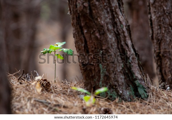 Highly lighted oak leaves next to thick trunk of spruce.Seedlings or plants illuminated by the side light.