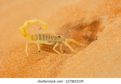 A highly venomous Arabian scorpion, Apistobuthus pterygocerus, digging a burrow in a sand dune in the Empty Quarter Desert.