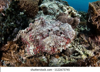 A highly-venomous Stonefish, Synanceia verrucosa, blends into a coral reef in Komodo National Park, Indonesia.
