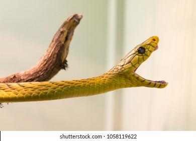Higlly venomous snake of the elapids family: the mamba