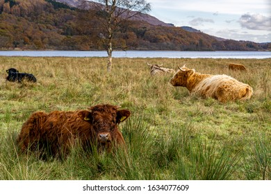 Hihgland Cattles near Glencoe in Scotland