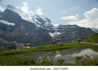 Hike in Jungfraujoch meadows and observing Alpine cows feeding