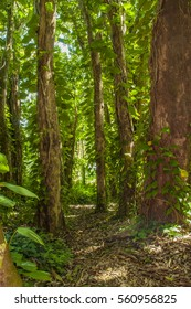 Hike Trail through the Lush Rain Forest