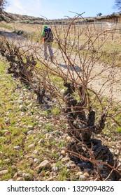 hiker among the vineyard