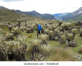 Hiker in colombian paramo highland of Cocuy National Park, surrounded by the beautiful Frailejones plants, Espeletia, Colombia, South America