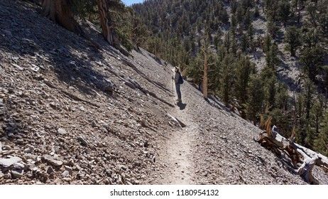 A hiker looks up from the Methuselah Grove trail in the White Mountains of California at ancient Great Basin Bristlecone Pine trees on the rocky slope above her.