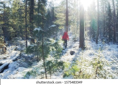 hiker with a red backpack walks through a snowy winter forest among coniferous trees along a trail
