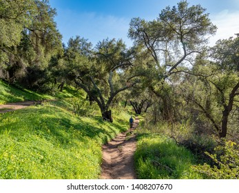 Hiker under shade of oak trees on Jesusita Trail, Santa Barbara, California, USA