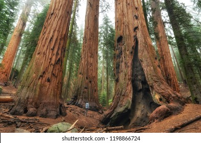 Hiker is walking and looking at the giant sequoia trees in Sequoia National Park, California, USA