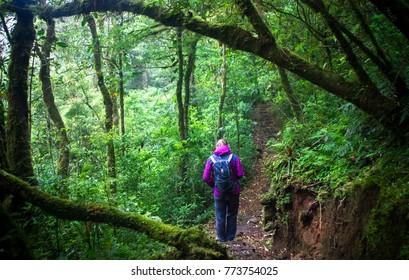 A hiker walks along a path through the dense jungle in the Monteverde cloud forest, Costa Rica.