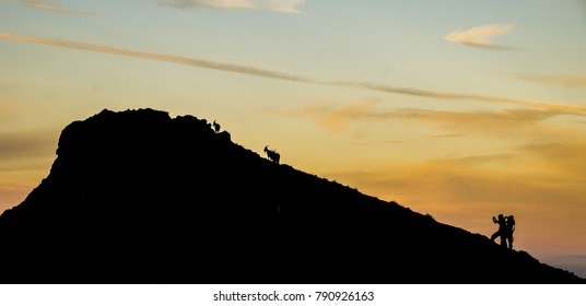 Hikers meeting goats on a hill in Scotland.
