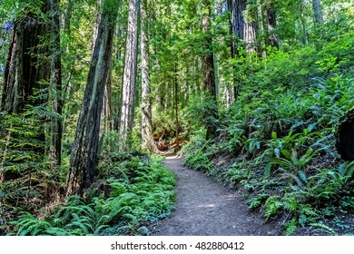 Hiking in the morning, through the coastal redwood forest of Northern California, on a narrow secluded trail, with lush green foliage on either side, you see the first shadows of sunrise on the path.