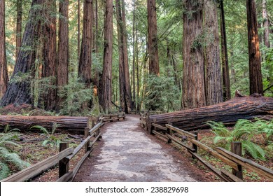 Hiking path though the redwood forest in Muir Woods National Monument.