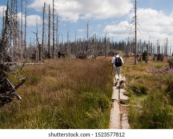 Hiking path through a dead spruce forest, with a walking man and a dog,  in the Sumava National Park (Bohemian Forest, Bömerwald) on the border between the Czech Republic, Bavaria and Austria.