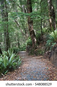 Hiking path traversing a forest of beech trees and crown ferns on Kepler Track